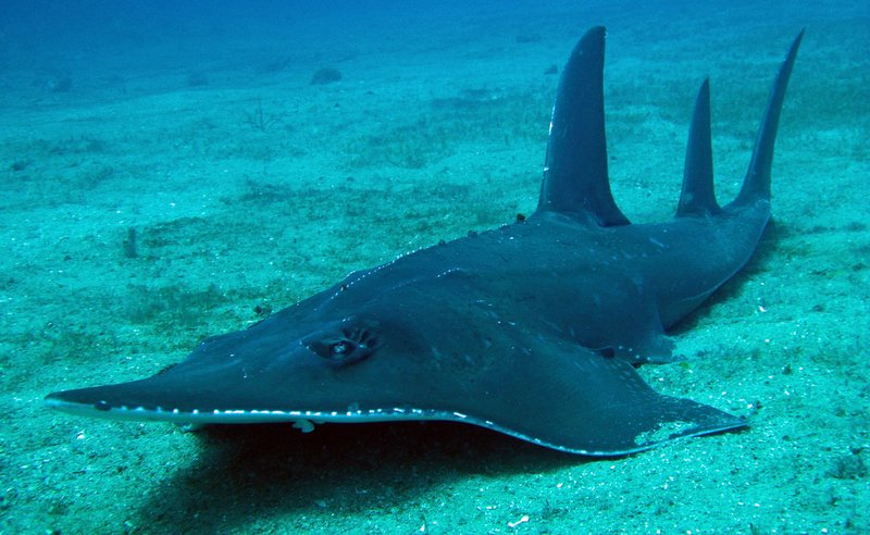 yongala-guitar-shark-1.jpg